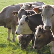 Rose Farm Shop Cows